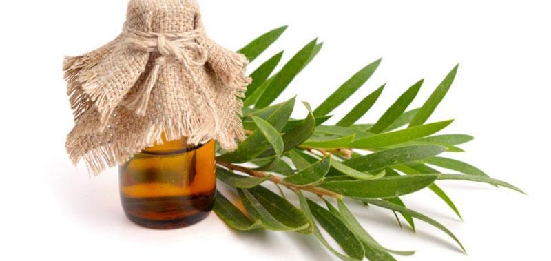 Aceite de árbol de té para las espinillas