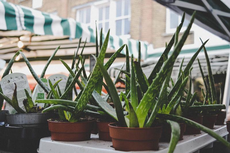 Aloe vera para eliminar espinillas